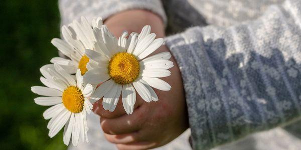 Kinderhände Margeriten